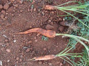 Zanahorias llevan provitamina A